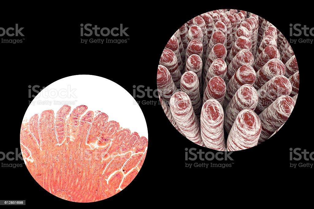Villi of small intestine stock photo