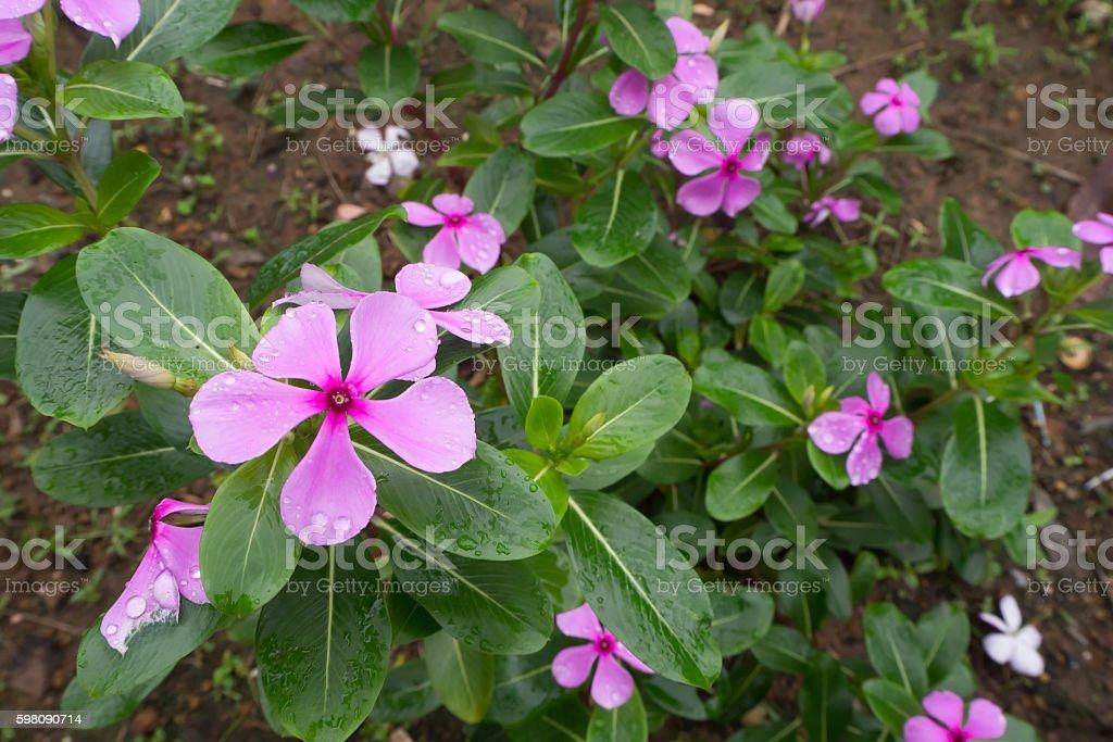 Vinca flower with raindrop. stock photo