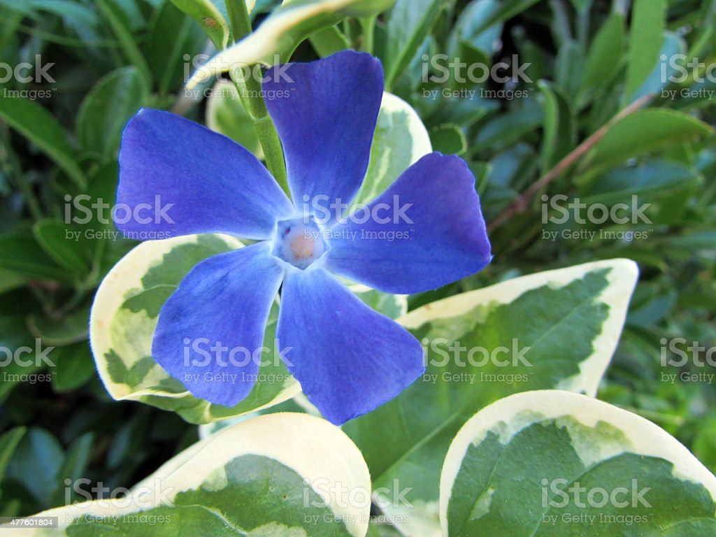 Vinca major stock photo