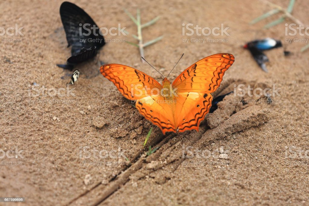 Vindula Erota-Common Cruiser butterfly. Sop Chem village-Luang Prabang province-Laos. 3906 stock photo