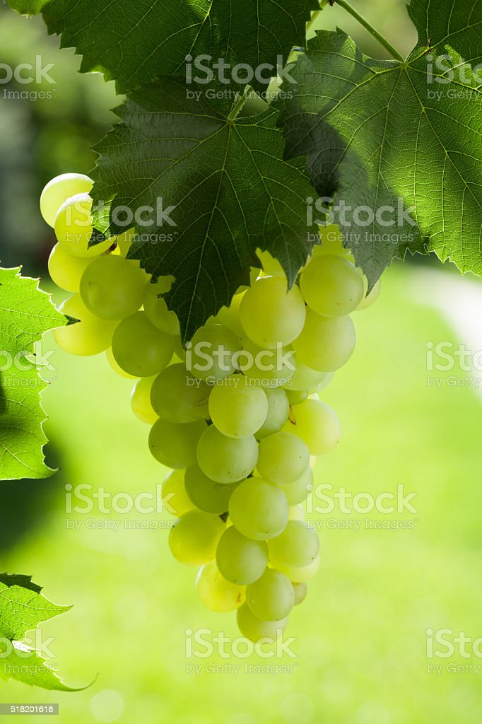 Vine and bunch of white grapes stock photo