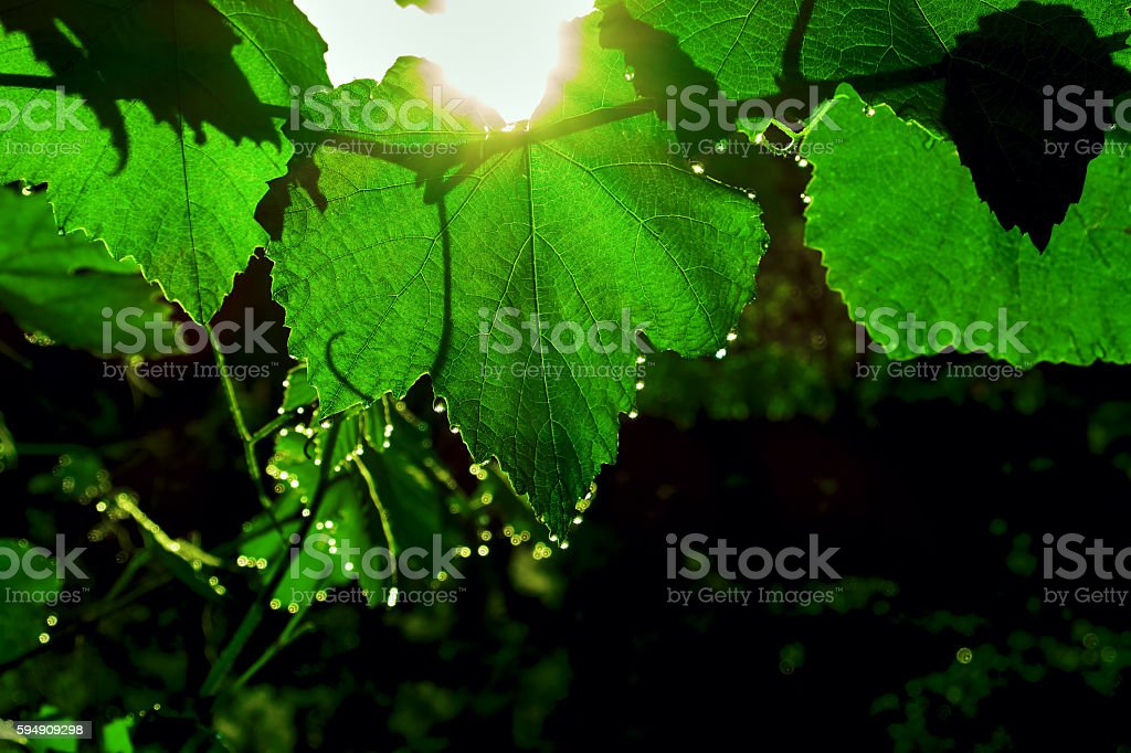 vine at dawn royalty-free stock photo