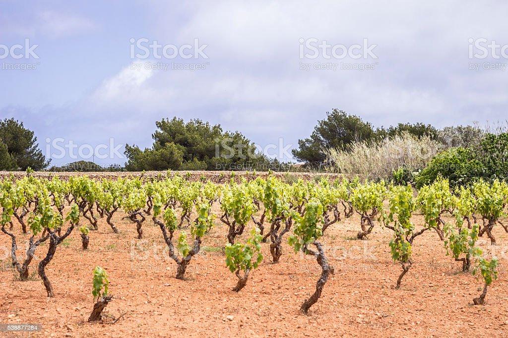 vine at Formentera stock photo