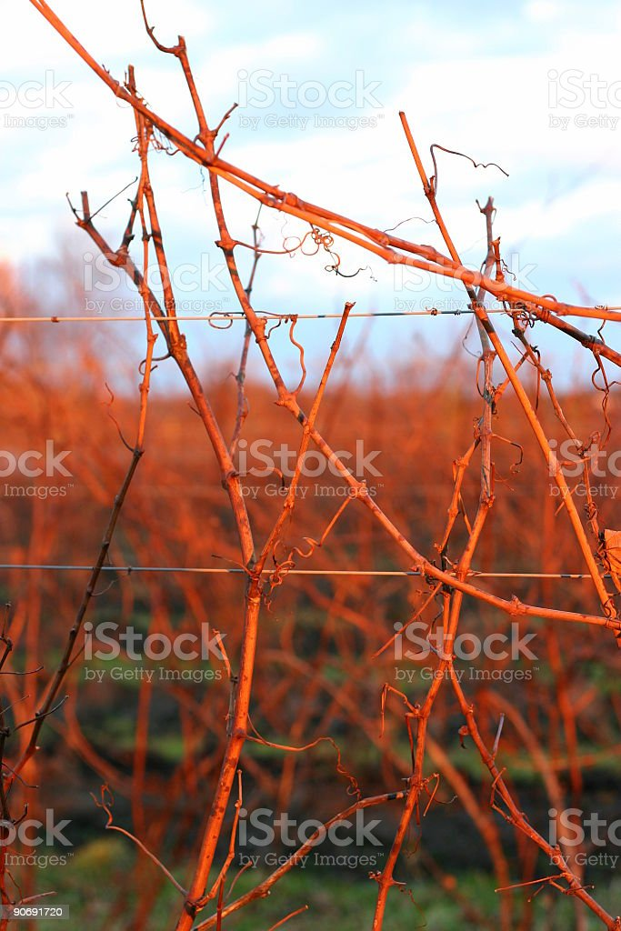 Vine branches royalty-free stock photo