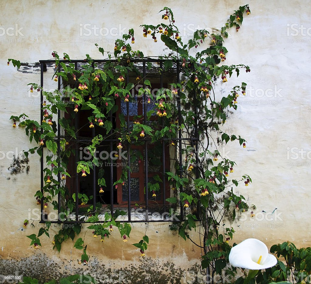 Vine Covered Window at the Carmel Mission stock photo