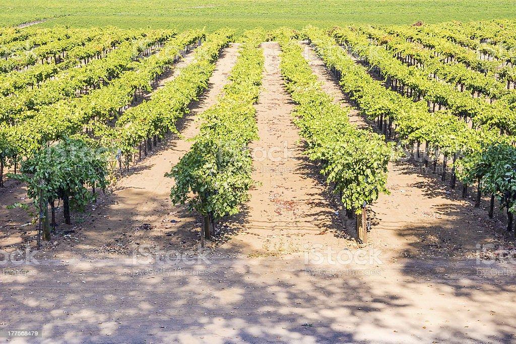 Vine Field near Napa Valley, California royalty-free stock photo