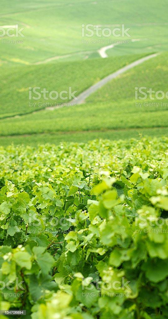 Vine fields. royalty-free stock photo