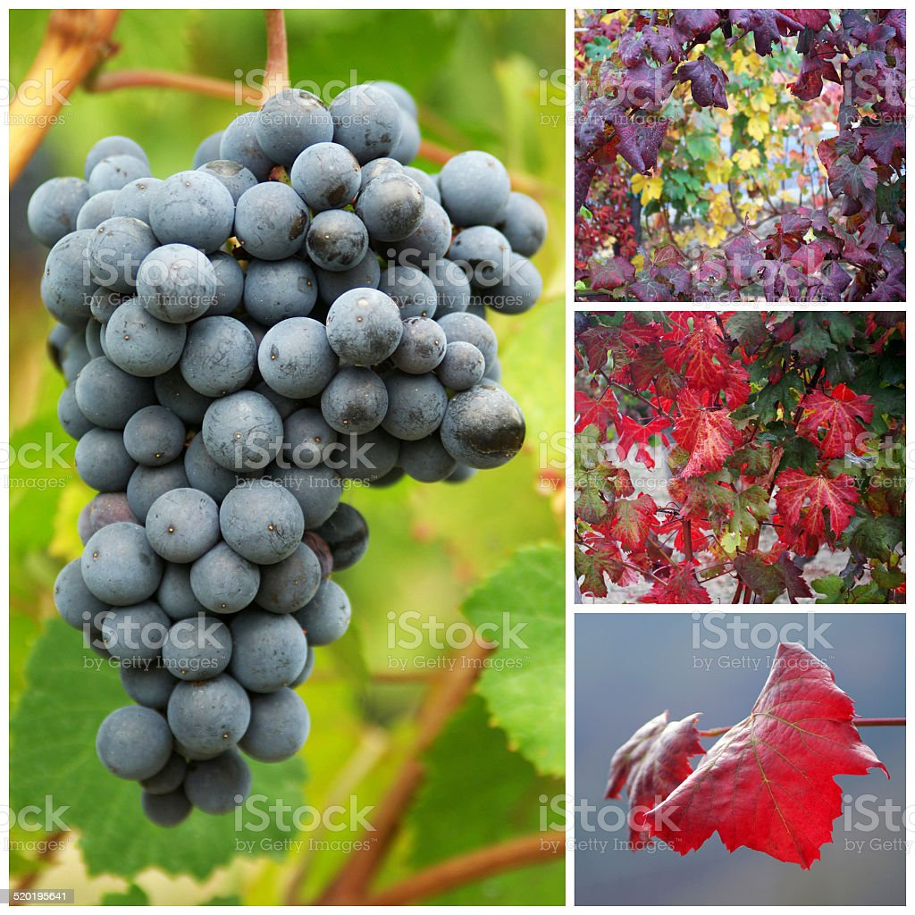 Vine grapes and leaves in autumn stock photo