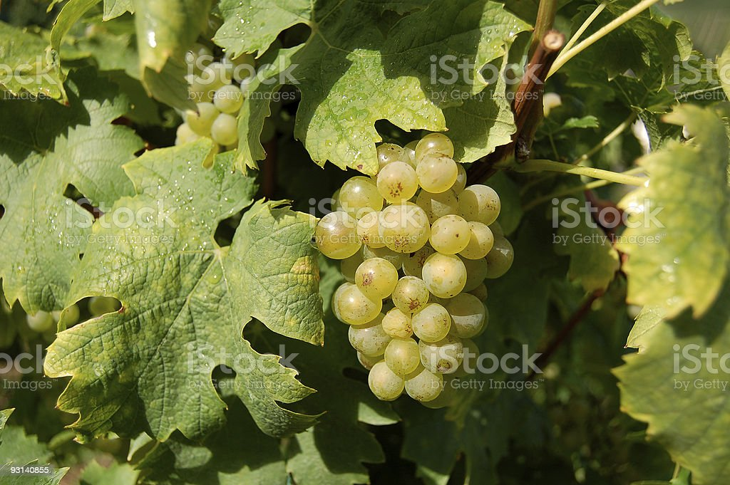 vine grapes on a plant, with leafs stock photo