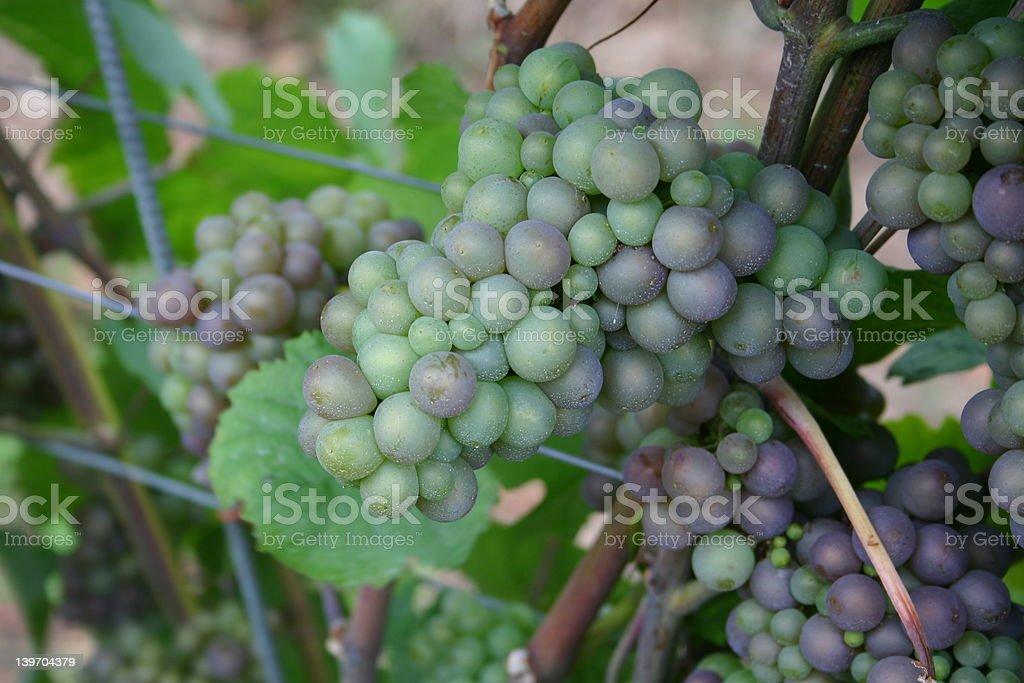 Vine grapes (green) royalty-free stock photo