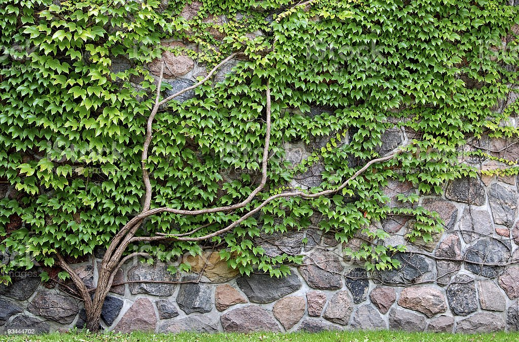 Vine growing on a rock wall royalty-free stock photo