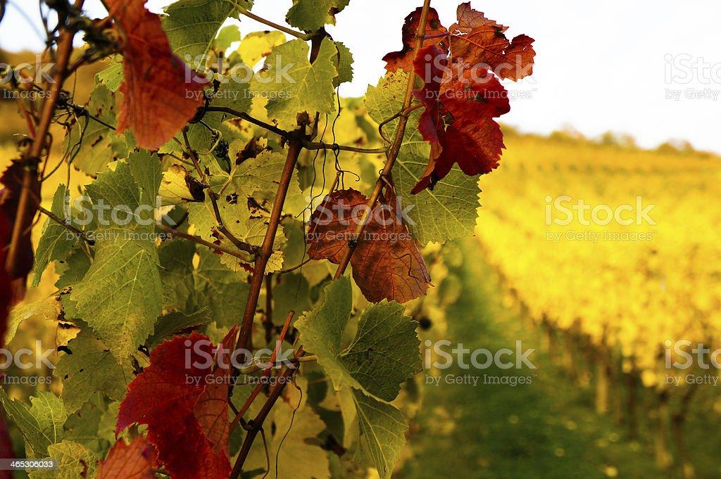 Vine in Autumn royalty-free stock photo