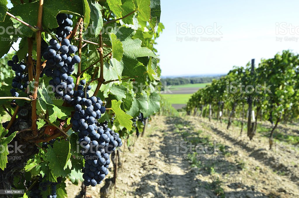 Vine in Burgenland royalty-free stock photo