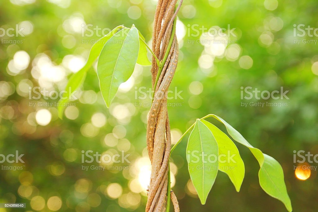 Vine in forest stock photo