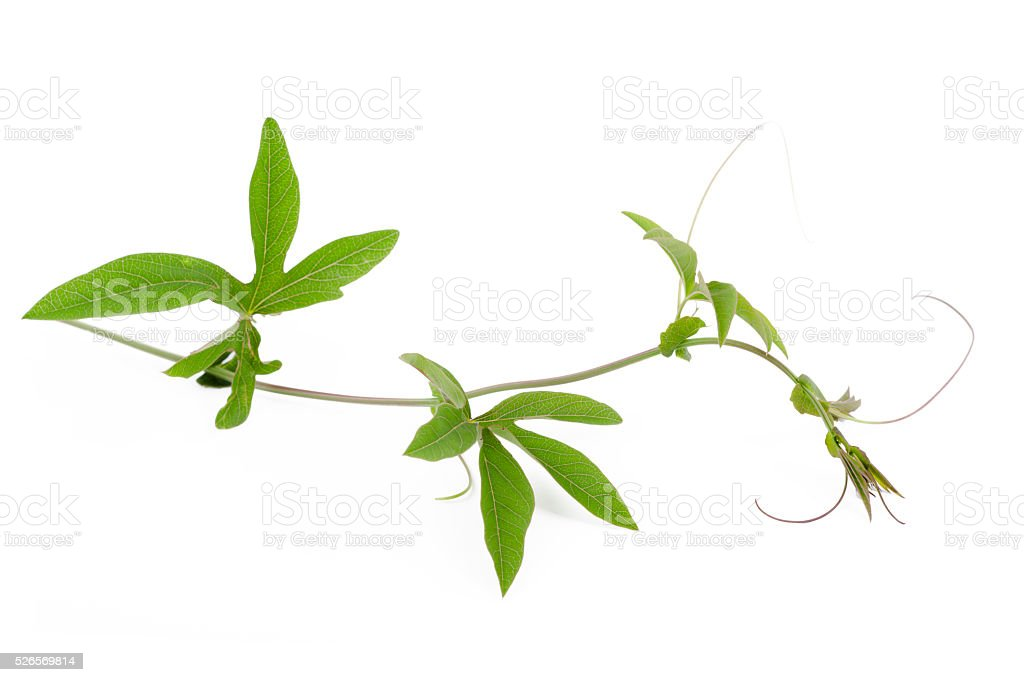 Vine ivy stock photo