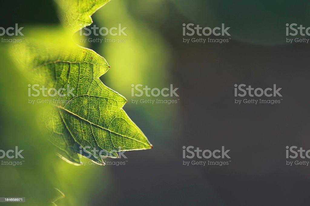 Vine leaf detail stock photo