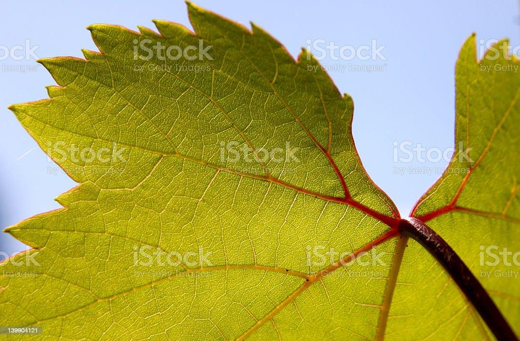 Vine Leaf royalty-free stock photo