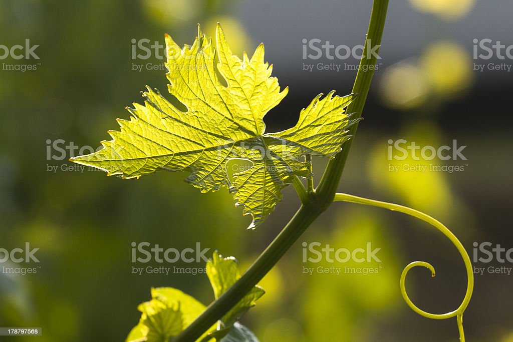 Foglia di vite stock photo