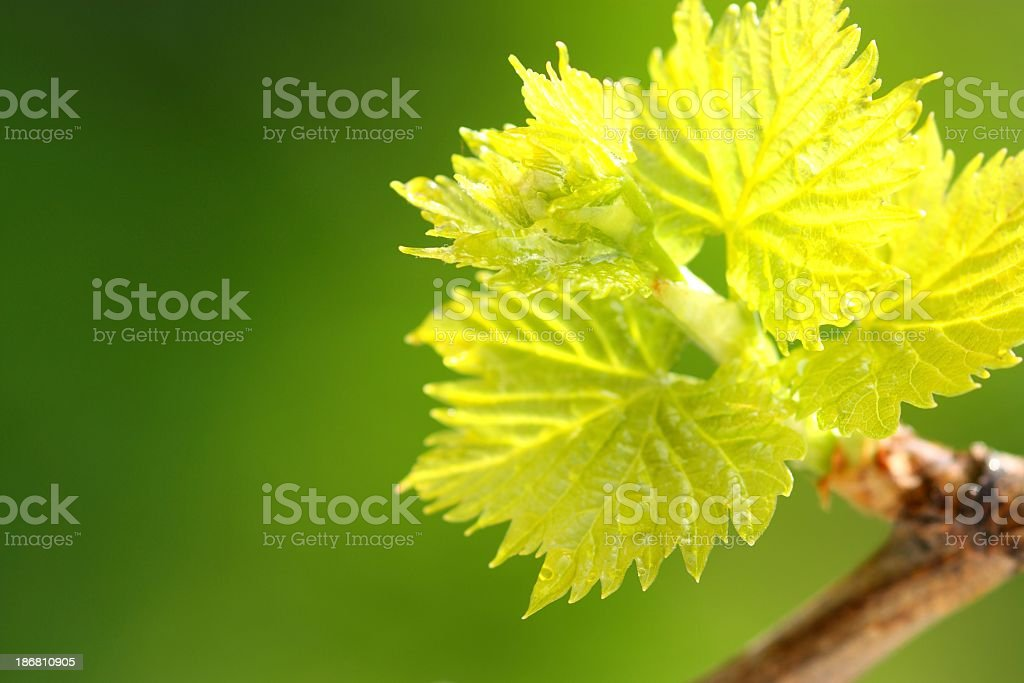 Vine Leaf royalty-free stock photo