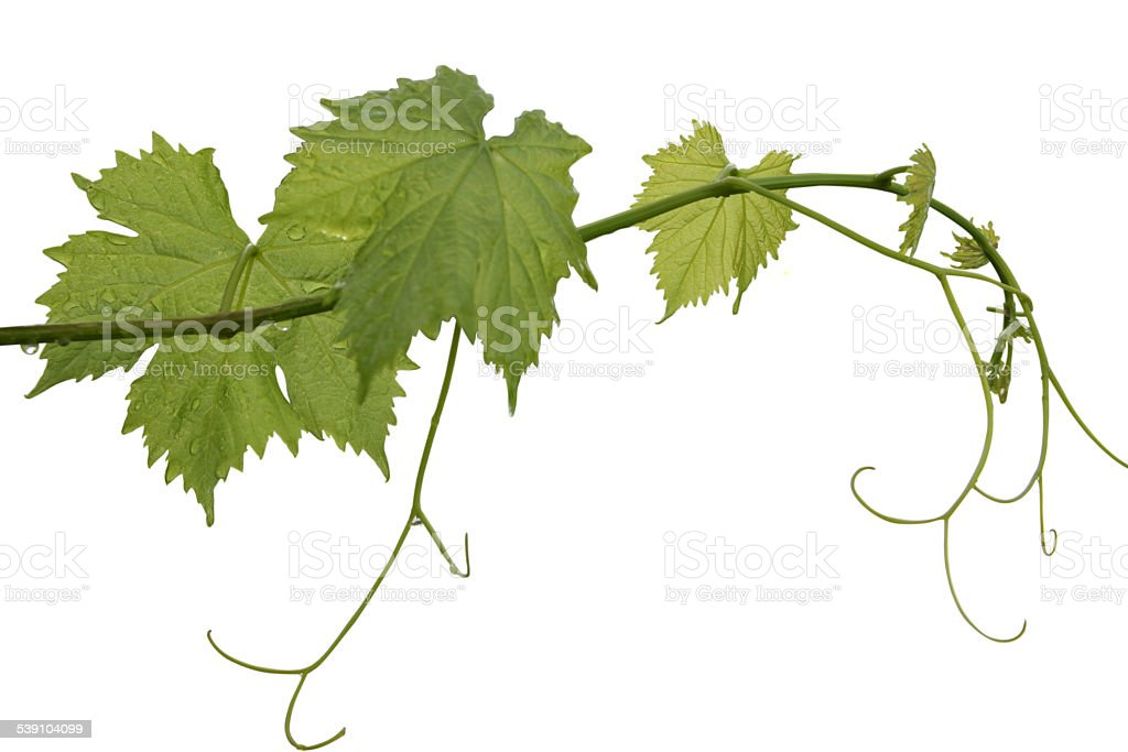 vine leaf stock photo