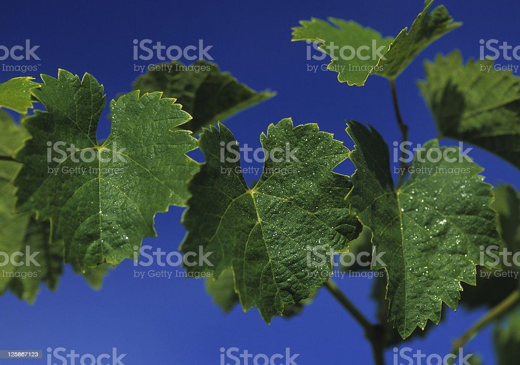 Vite leafs foto stock royalty-free