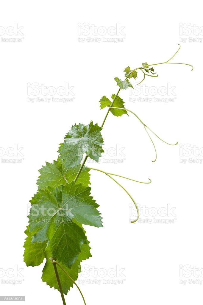Vine leaves isolated on white background stock photo