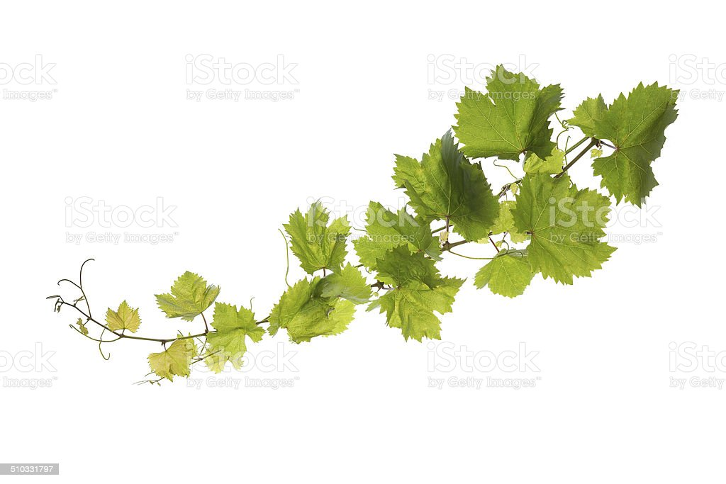 Vine leaves isolated on white stock photo