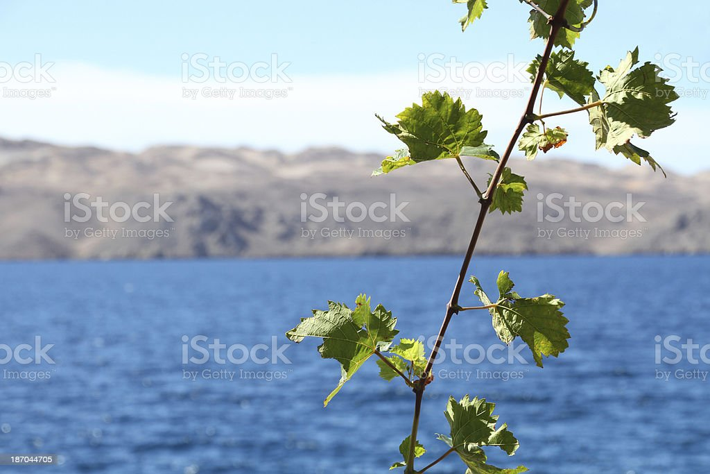 vine leaves Mediterranean stock photo