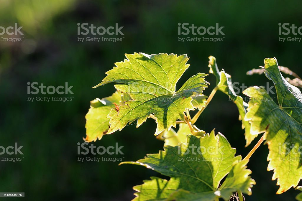 weinblätter stock photo