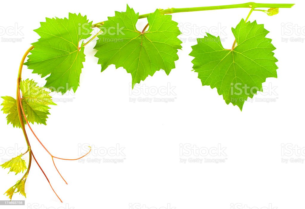Vine of big and small grape leaves stock photo