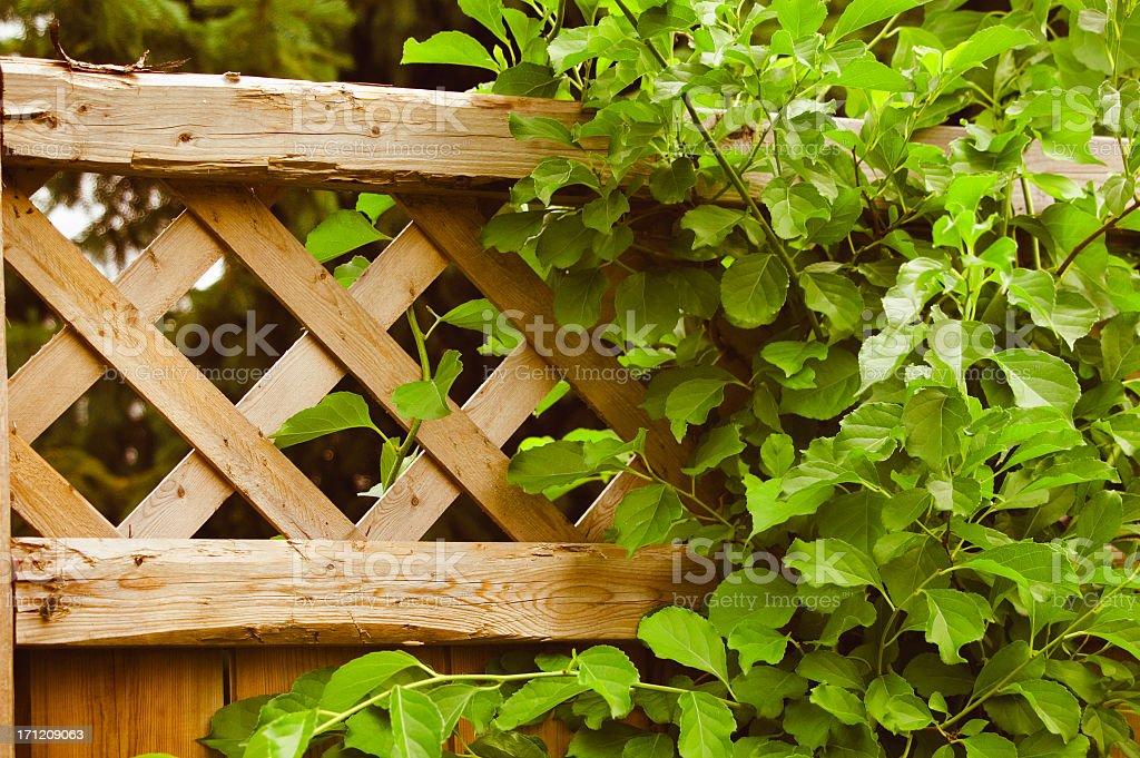 Vine on a lattice fence. royalty-free stock photo
