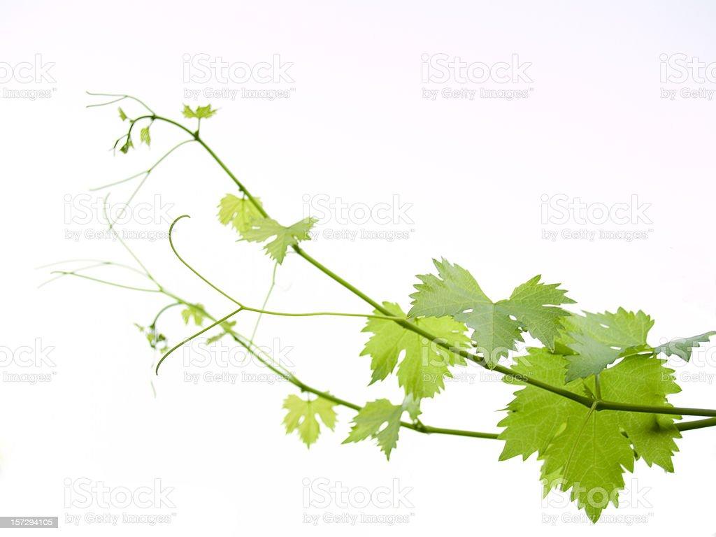 vine stock photo