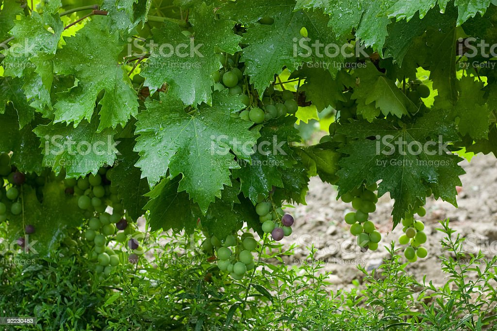 vine royalty-free stock photo