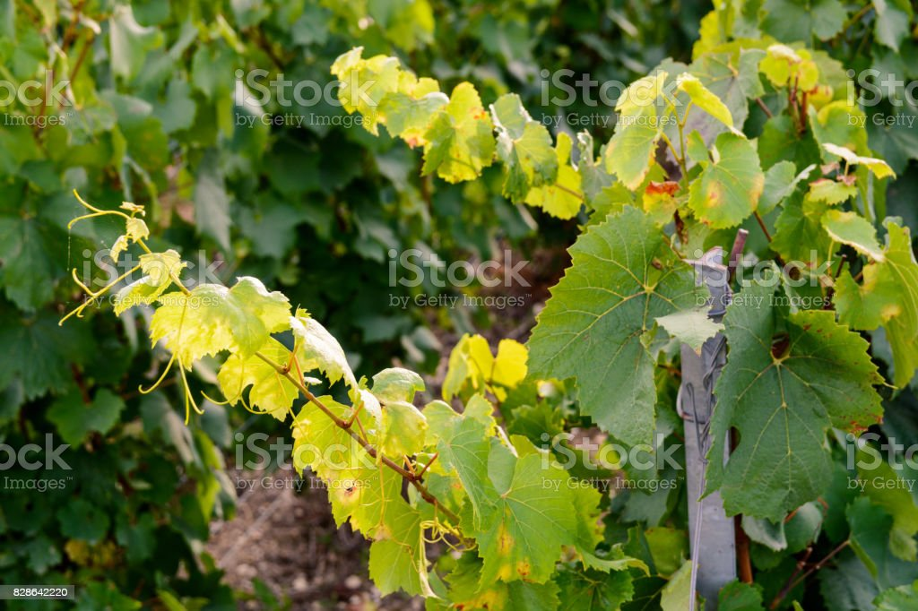 Vine plant leaves in the evening light stock photo