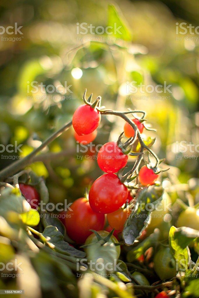 Vine ripened organic grape tomatoes royalty-free stock photo