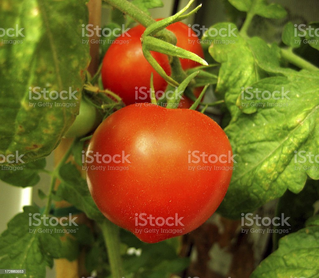 Vine Ripened Tomatoes royalty-free stock photo