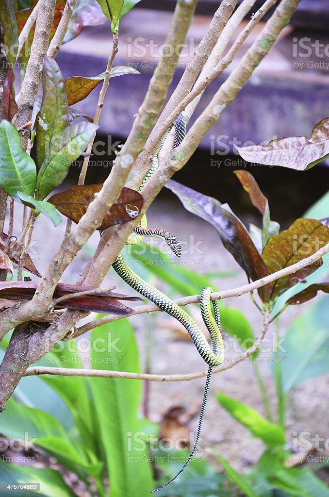 vine snake or whip snakes stock photo