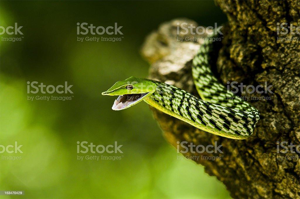 vine snake royalty-free stock photo