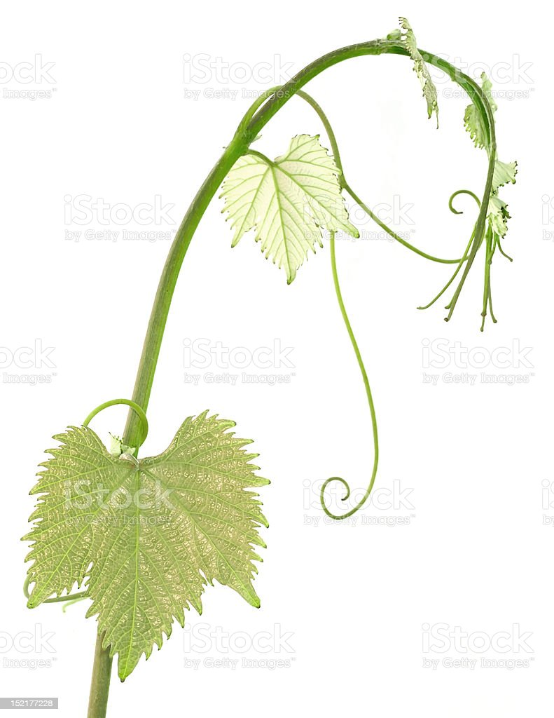 vine sprout royalty-free stock photo