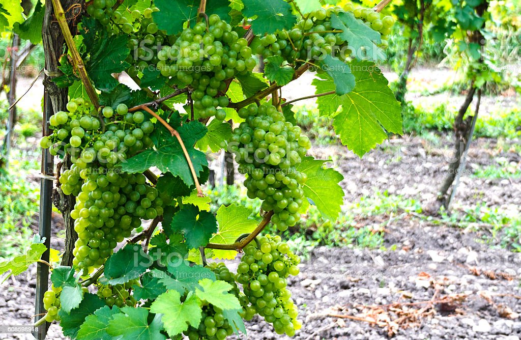 vine stock with grapes of the variety Green Veltliner stock photo