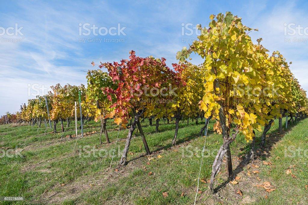 Vine stocks in autumn stock photo
