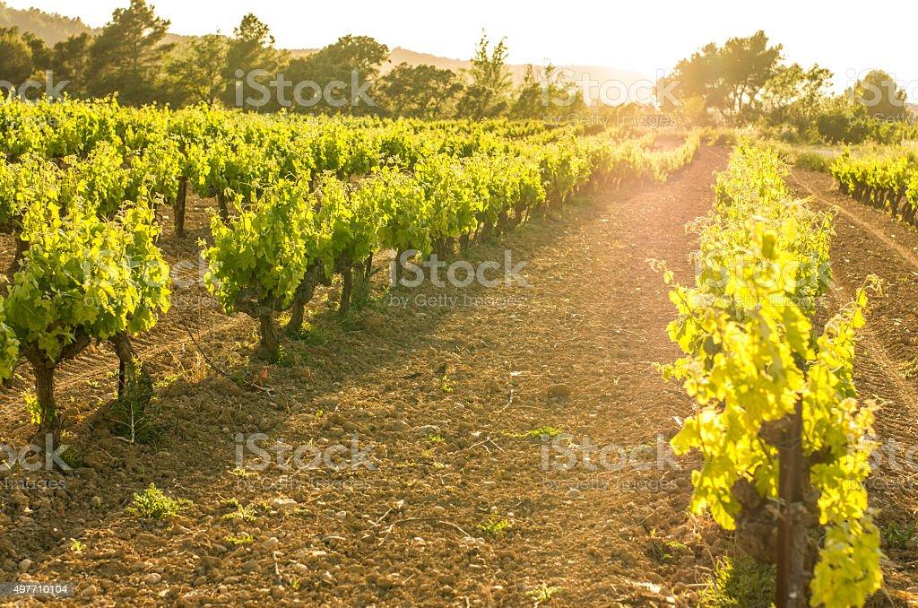 vine vineyard dusk flare yellow sun row bokeh penedes viñedo stock photo