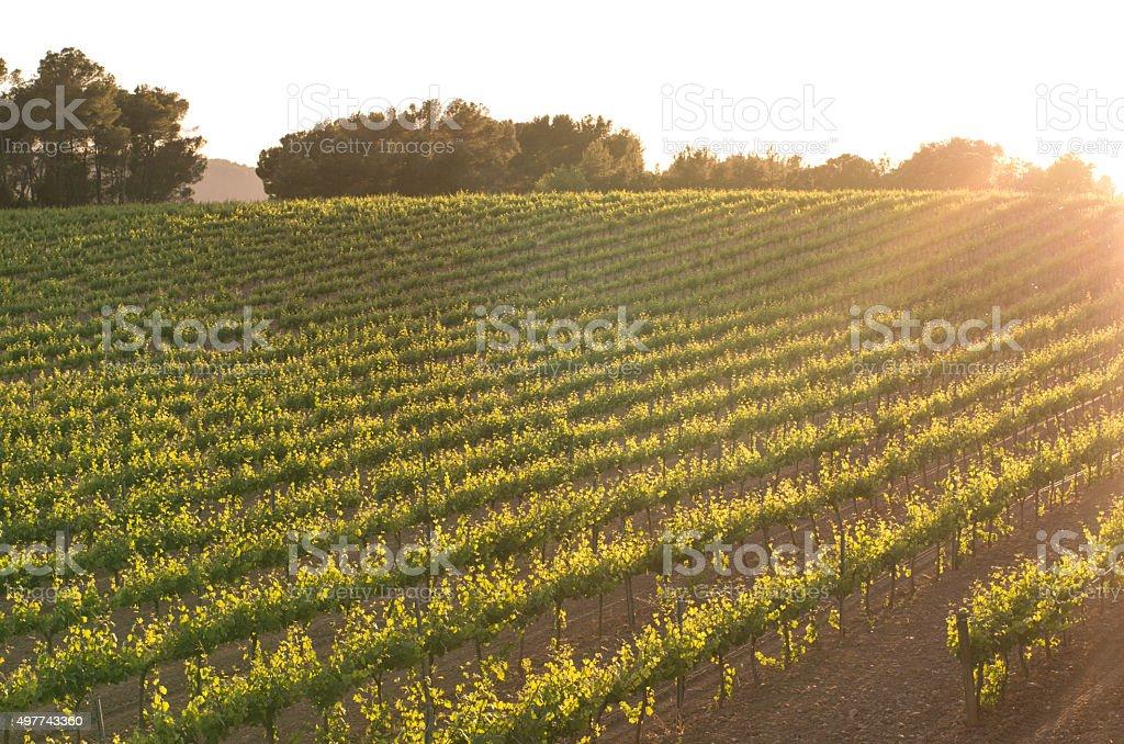 vine vineyard row diagonal sun flare dusk morning penedes stock photo