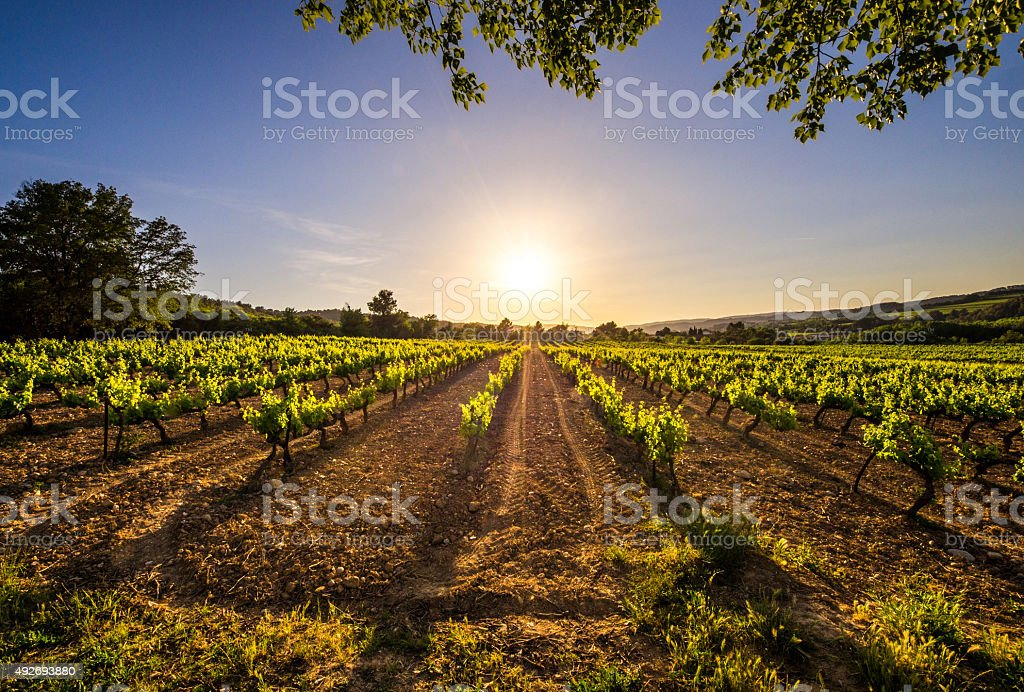 vine vineyard sun sunset row sunrise ray light flare wide stock photo