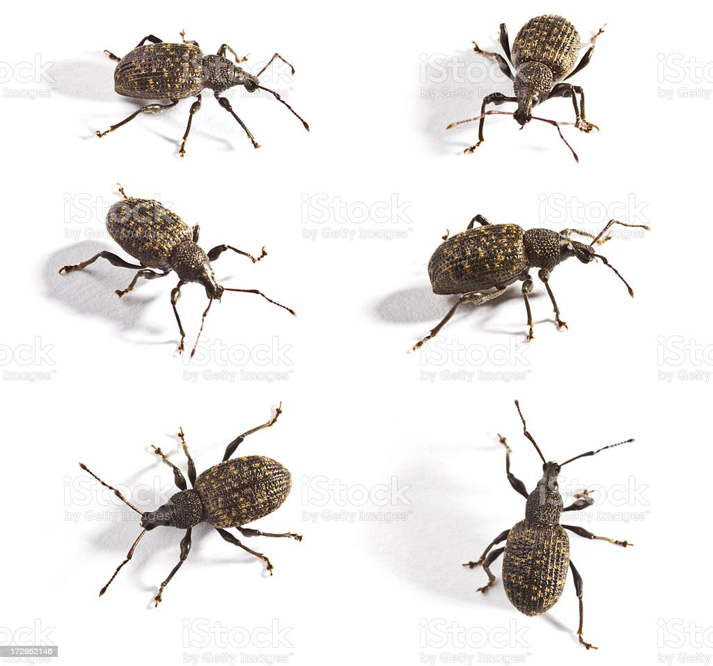 vine weevil royalty-free stock photo