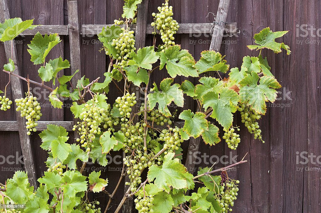 Vine with grapes growing on a wooden wall, Germany stock photo