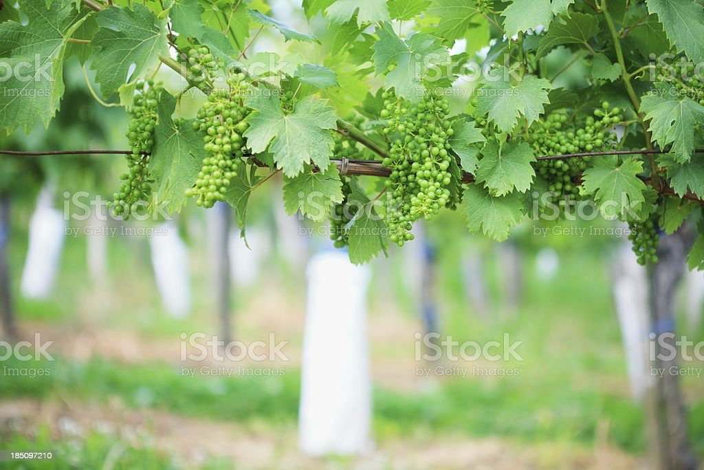 Vine With Green Grapes royalty-free stock photo