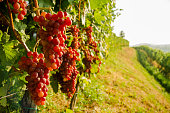Vine With Red Grapes