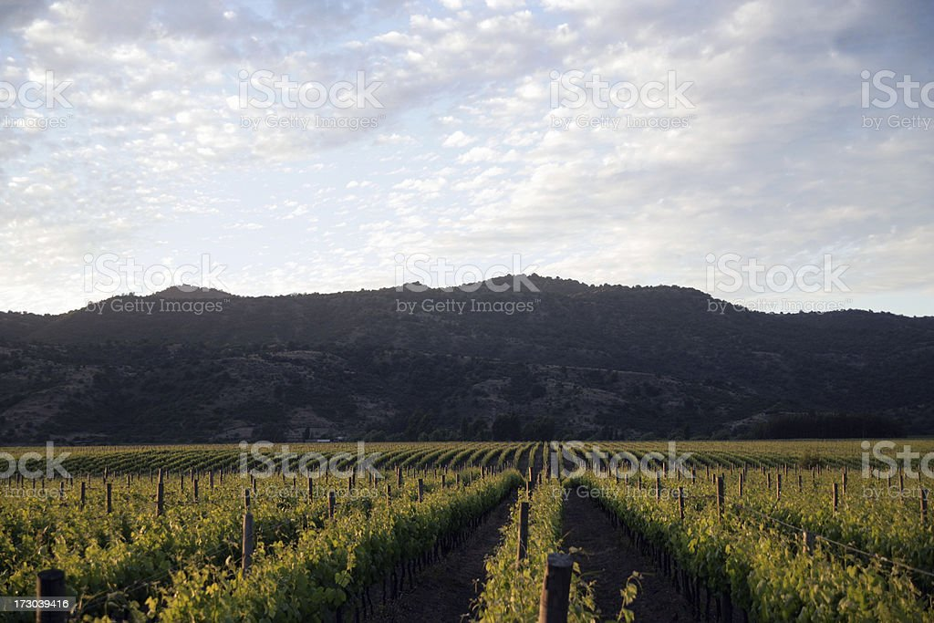 Vine Yard And Mountain stock photo