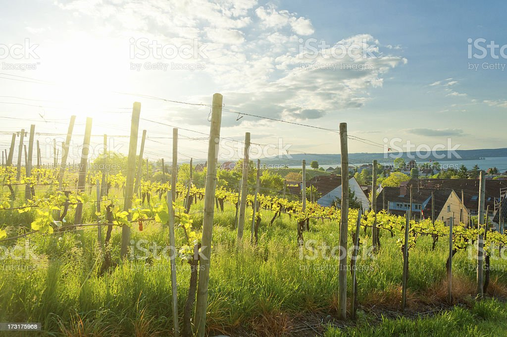Vine yard with young plants in may royalty-free stock photo